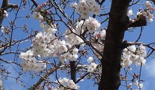 200329桜1.jpg