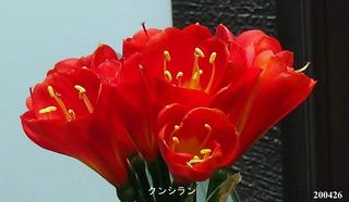 200426君子蘭.jpg