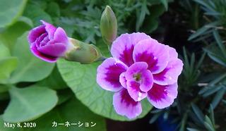 200508カーネーションa.jpg
