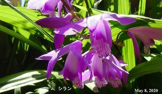 200508シランa.jpg