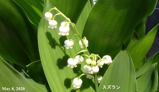 200508スズランa.jpg