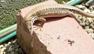 200512カナヘビ0a.jpg