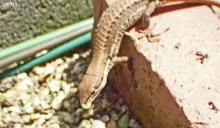 200512カナヘビ1.jpg