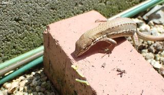 200512カナヘビ0.jpg