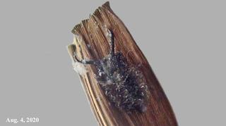 200804ツノトンボ幼虫.jpg