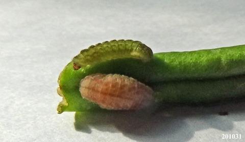 201031prepupa_larva.jpg